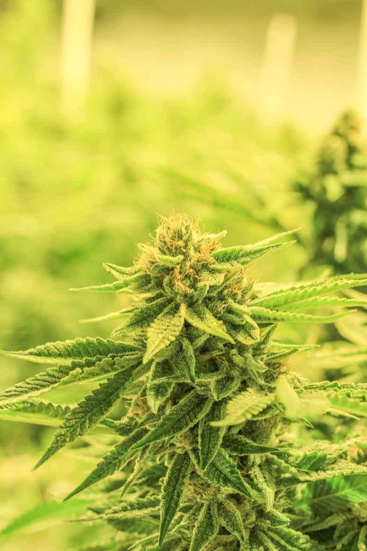 Le cannabis indica est le plus riche en CBD