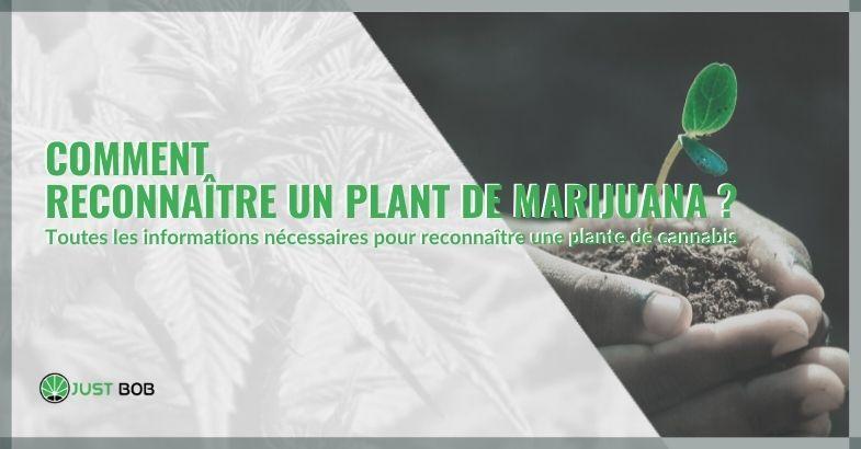 Comment reconnaître un plant de marijuana ?
