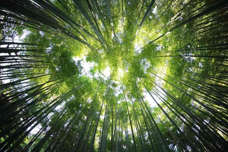 L'histoire de l'arbre à marijuana: entre ingéniosité et imagination