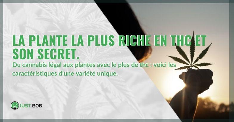 La plante avec le plus haut niveau de THC et son secret