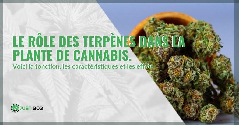 Quel rôle jouent les terpènes dans la plante de cannabis?