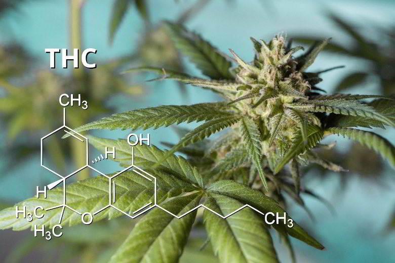 La marijuana est-elle mauvaise pour vous ? Effets d'une teneur élevée en THC.