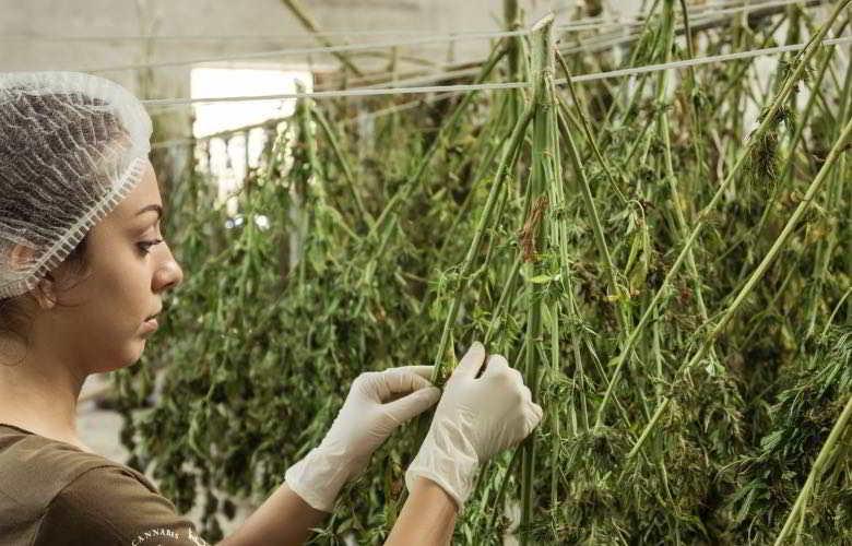 La récolte et le traitement du cannabis léger zkittles CBG.