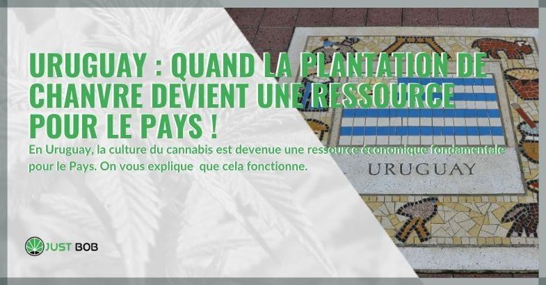 Uruguay : quand la plantation de chanvre devient une ressource pour le pays !