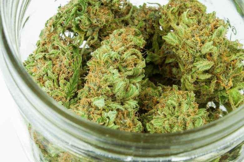 Cannabis Flos ou fleurs de marijuana médicale séchées