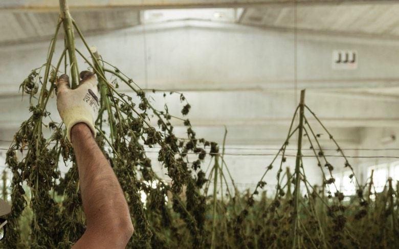 Récolter du cannabis pour faire du hachisch burbuka