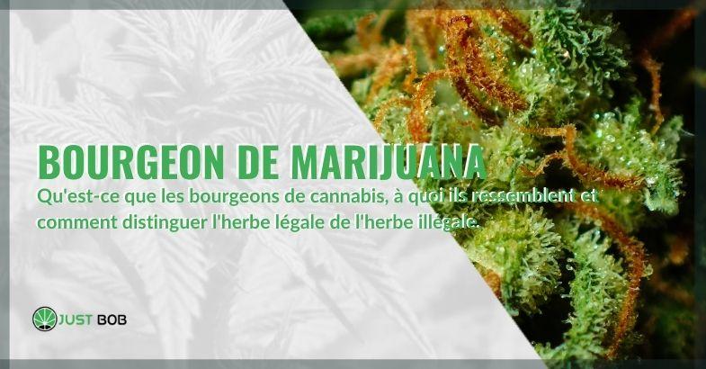 Que sont les bourgeons de marijuana et comment les reconnaître.