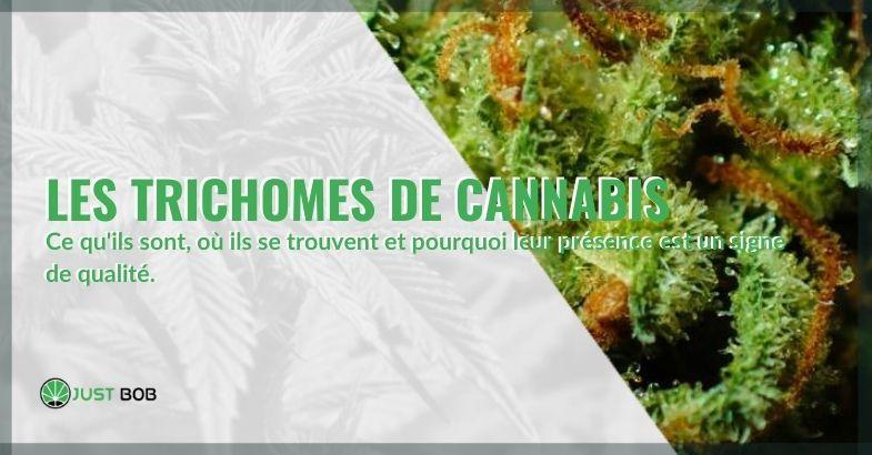 Où trouve-t-on les trichomes de cannabis et quels sont-ils?