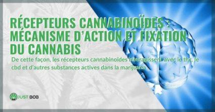 Le mécanisme d'action des récepteurs cannabinoïdes et le lien avec le cannabis