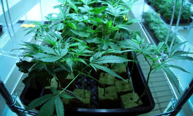 La lumière du cannabis présente des avantages significatifs avec la culture aéroponique