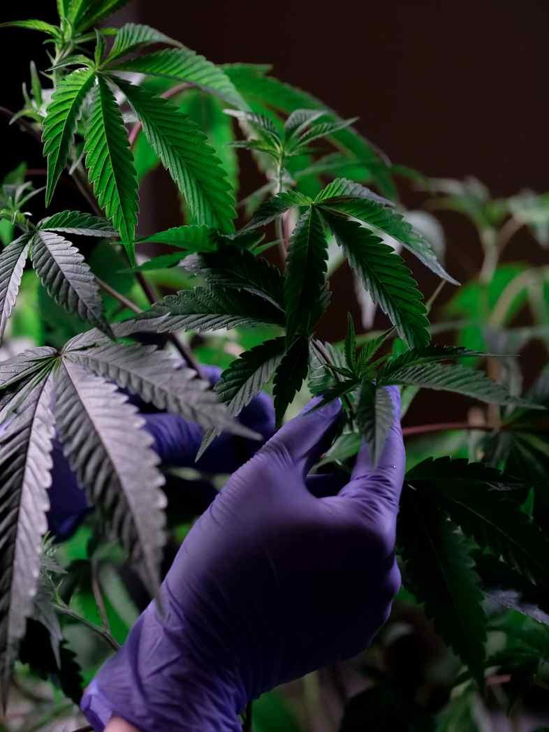 Le cannabidiol est extrait de la plante de cannabis