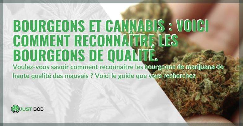 Guide pour reconnaître les têtes de cannabis de qualité