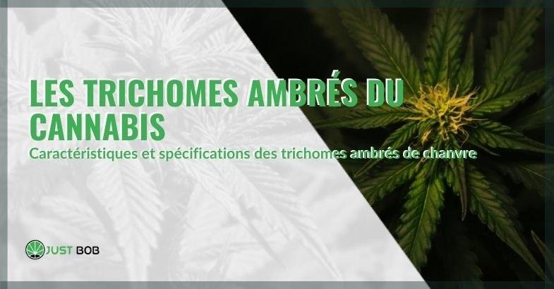 Clarification sur les trichomes ambrés du cannabis