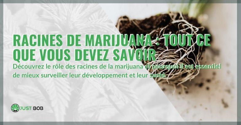Tout sur les racines de cannabis