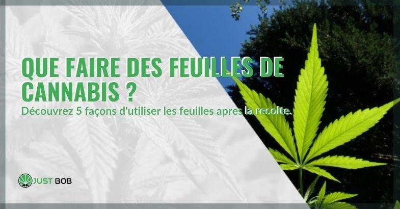 Voici comment replier les feuilles de cannabis restantes du traitement